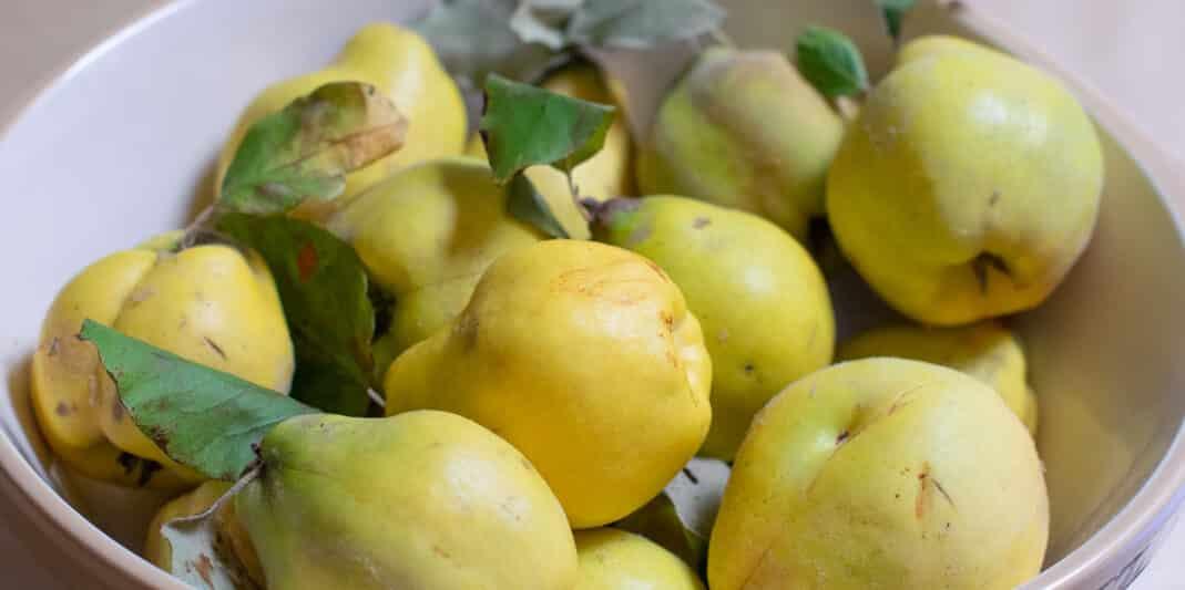 Kweeperen in een schaal, geel en lichtgroen gekleurd. Sommige peren hebben het bladgroen er nog aan.