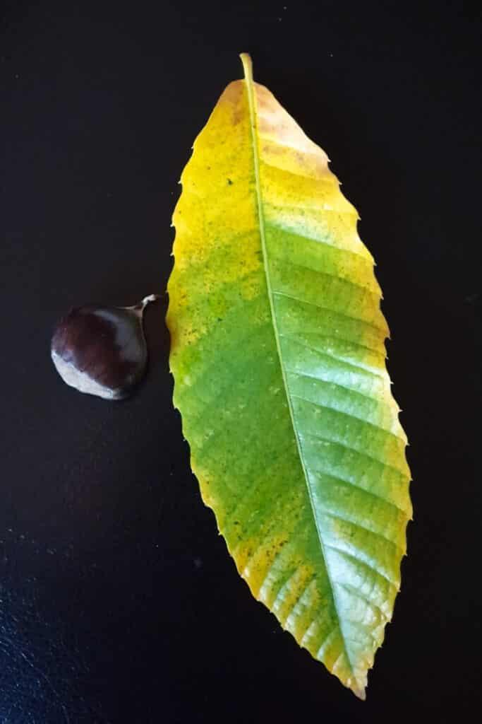 tamme kastanje met blad stilleven